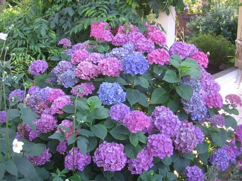 hortensia of hydrangea inside and outside
